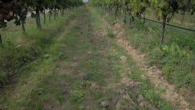 Tilt shot of long vineyard's path stock video