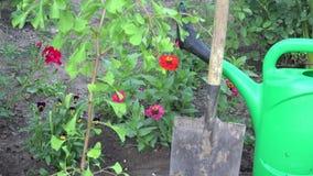 Tilt up fresh maidenhair tree seedling in garden at summer. 4K. Tilt up of new planted fresh maidenhair tree seedling in garden yard at summer time. 4K UHD video stock video