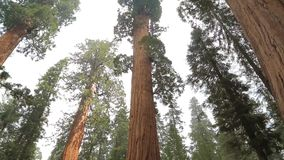 Tilt up giant Sequoia trees in Yosemite Park stock video
