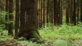 Tilt up shot of pine tree in forest. Tilt up macro shot of big pine tree and fern leaves in summer pine wood. Shallow depth of field stock footage