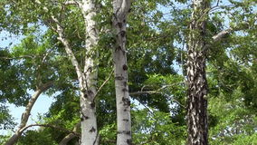 Tilt Up Trunk And Branches White Birch Trees. White Birch Trees With Branches Moving In Wind Against Blue Sky stock footage