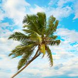 Tilted coconut palm on background the blue sky Stock Image