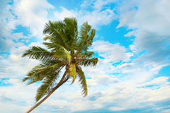 Tilted coconut palm on background the blue sky Royalty Free Stock Image