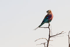 Tilted Head Lilac-breasted Roller Royalty Free Stock Images