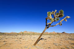 Tilted Joshua Tree Stock Photos