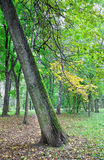 Tilted tree in autumn park. Tilted yellow tree in green autumn park royalty free stock images