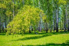 Tilted the tree to the ground in a forest of birch royalty free stock image