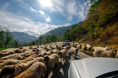 Tilted view of sheared sheep on rural road with a car trying to pass. One sheep is looking at the camera. Azerbaijan Masalli stock photo