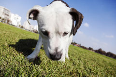 Pitbull at the Park. Tilted wide angle view of a Pitbull looking down on the grass at an urban park Stock Photo