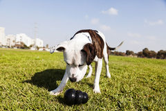 Pitbull Dog with Chew Toy at the Park. Tilted wide angle view of a Pitbull looking at his black chew toy laying on the grass at an urban park Royalty Free Stock Image