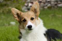 Tilting head. Welsh corgi puppy with a tilting head Stock Image
