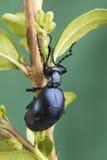 Timacha: escarabajo negro en un fondo verde Imagen de archivo libre de regalías