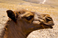 timanfaya西班牙非洲小狗褐色独峰驼叮咬 库存照片