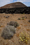 Timanfaya vulcanic  spain plant flower bush Stock Image