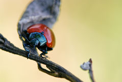 (Timarcha tenebricosa) bloody nosed beetle Royalty Free Stock Image