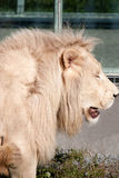 Timbavati white lion Stock Photos
