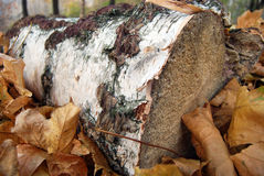 Timber with autumn leaves. Close up of aspen tree log with autumn maple leaves stock image