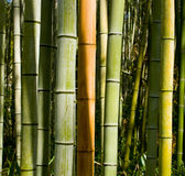 Timber Bamboo. Colorful stalks of timber bamboo in the sun Royalty Free Stock Image