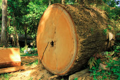 Timber. The Big Timber in Thai Forest Royalty Free Stock Photography