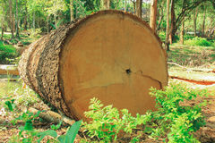 Timber. The Big Timber in Thai Forest Royalty Free Stock Image