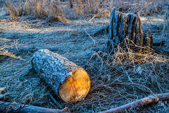 Timber, covered with frost. In the morning forest stock image