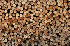 Timber of Eucalyptus tree Stock Photography