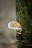 Timber fungus. On the trunk of the tree stock images