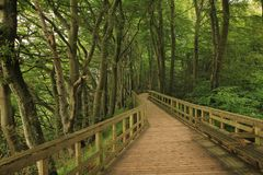 Timber gangplank leading trough a beech forest. Royalty Free Stock Image