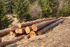 Timber harvesting in the forest. A pile of felled pine trees. Timber industry. Stock Photo