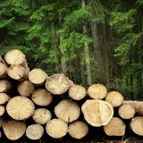 Timber Harvesting For Lumber Industry Or  Wooden Housing Constru Royalty Free Stock Photo
