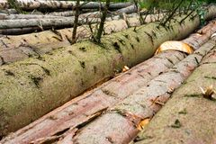 Timber harvesting. Pile of cut fir logs Royalty Free Stock Images