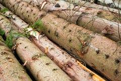 Timber harvesting. Pile of cut fir logs Stock Images