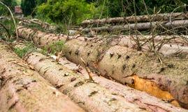 Timber harvesting. Pile of cut fir logs Royalty Free Stock Photos