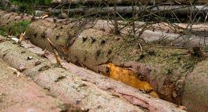 Timber harvesting. Pile of cut fir logs Stock Photos