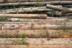 Timber harvesting. Pile of cut fir logs Royalty Free Stock Photo