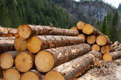 Timber logging in Austrian Alps. Timber logging in pine forest, Austrian Alps Royalty Free Stock Photos