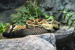 Timber Rattlesnake. Coiled up on rock Stock Image