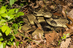 Timber Rattlesnake Stock Images