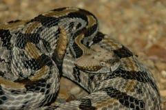 Timber Rattlesnake strike stock image