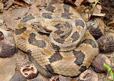 Timber Rattlesnake, Crotalus horridus Royalty Free Stock Photos