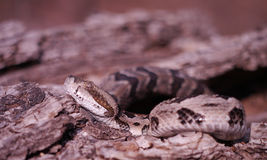 Timber Rattlesnake. Crotalus horridus, coiled defensively and ready to strike Stock Photos