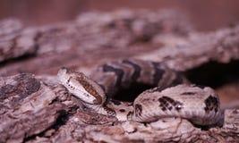 Timber Rattlesnake Stock Photos