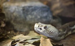 Timber Rattlesnake Royalty Free Stock Image