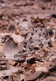 Timber Rattlesnake - Crotalus horridus Stock Photo