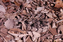 Timber Rattlesnake - Crotalus horridus royalty free stock image