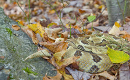 Timber Rattlesnake and Fall Foliage. A very yellow timber rattlesnake camouflaged amongst fall foliage.  Photo taken in southeastern New York state Royalty Free Stock Photo
