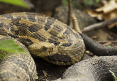 Timber Rattlesnake. A large gravid female Timber Rattlesnake coils up outside its den on a southern exposed rocky hillside in the midwest Royalty Free Stock Image