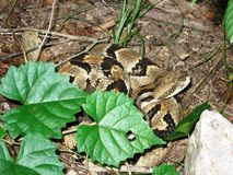 Timber Rattlesnake. Wikipedia: Dorsally, they have a pattern of dark brown or black crossbands on a yellowish brown or grayish background. The crossbands have Royalty Free Stock Photography