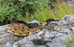 Timber Rattlesnakes. Representing both the yellow and black morph.  Photo taken in eastern New York State Stock Photo