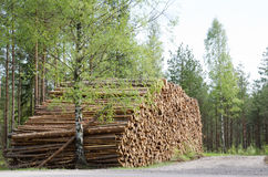 Timber stack. In springtime with birches around Stock Photo